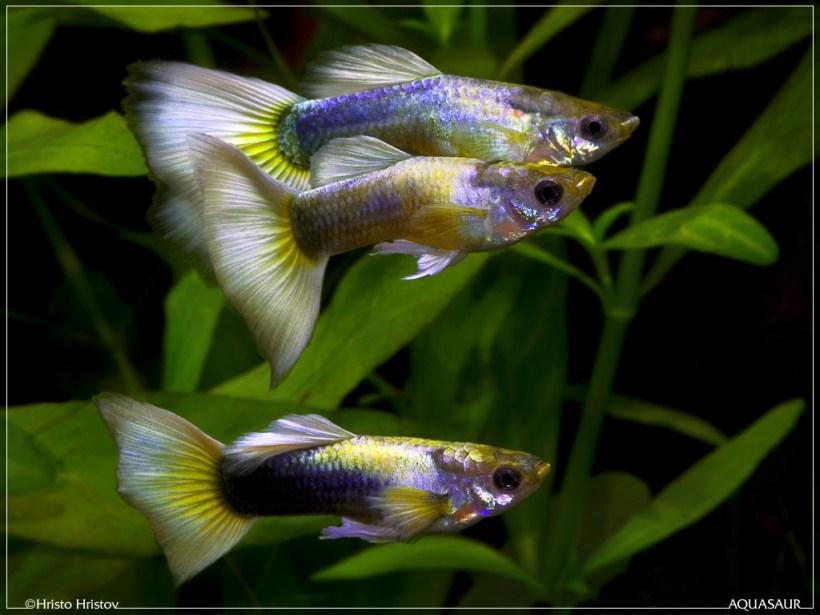 Harga Ikan Guppy Tercantik