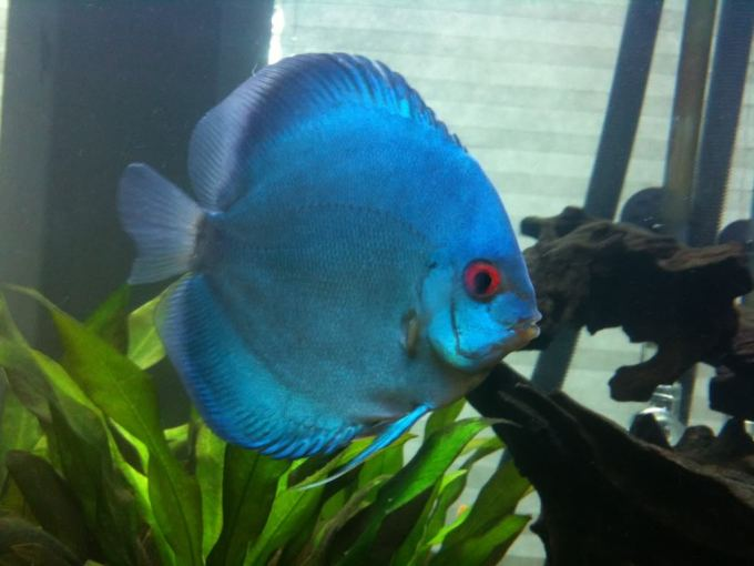 Jenis Ikan Discus Angel Blue Diamond