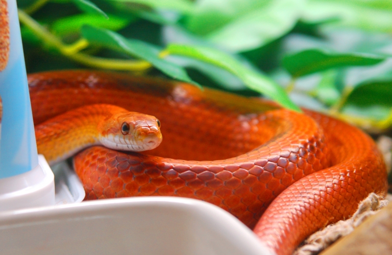 Jenis Ular Peliharaan Corn Snake