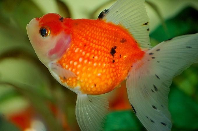 Jenis Ikan Koki Mutiara
