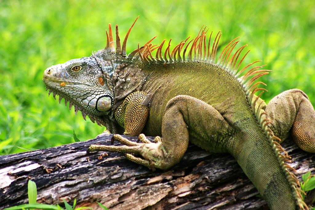 Tertarik Memelihara Iguana? Ini Dia Jenis dan Harga Iguana Tercantik di Dunia yang Patut Dicoba