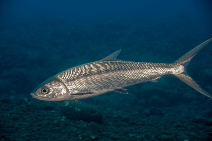 Potret Jenis Ikan Laut Bandeng