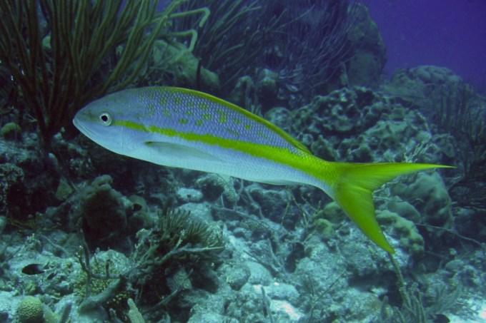 Jenis Ikan Laut - Ikan Ekor Kuning
