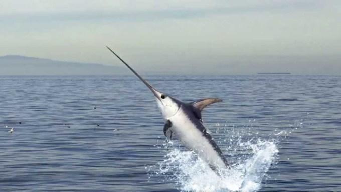 Jenis Ikan Laut - Ikan Todak