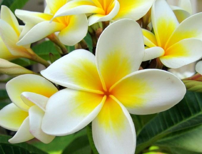 Jenis Bunga Kamboja Terindah