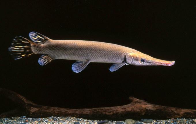 Ikan Aligator Cuban Gar