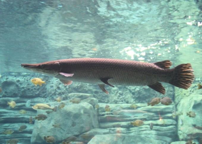 Ikan Aligator Shortnose Gar