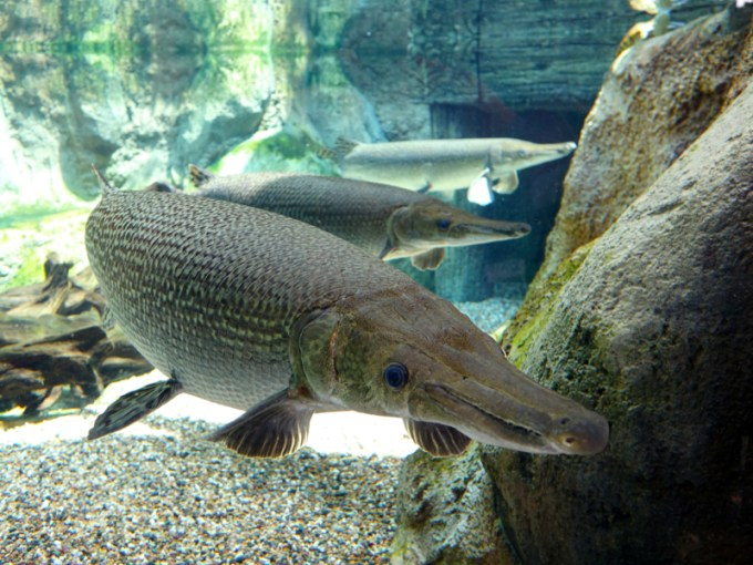 Ikan Alligator Gar