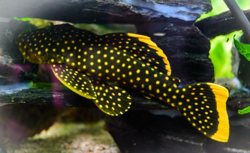 Ikan Sapu-Sapu Gold Nugget Pleco