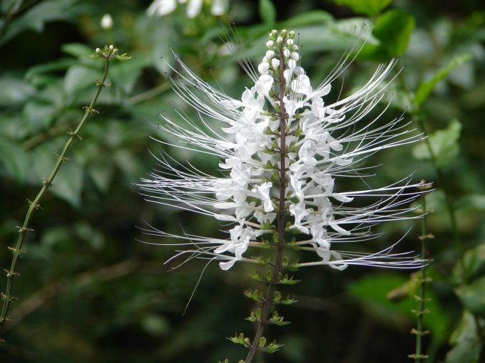 Jenis Bunga yang Satu Ini Memang Mirip dengan Kumis Pada Kucing