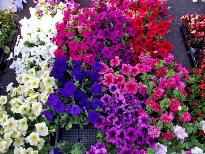 Jenis Bunga Petunia dengan Warna yang Berbeda
