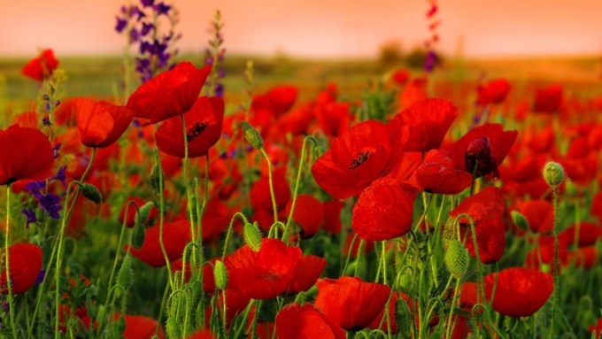 Hamparan Jenis Bunga Poppy yang Menakjubkan