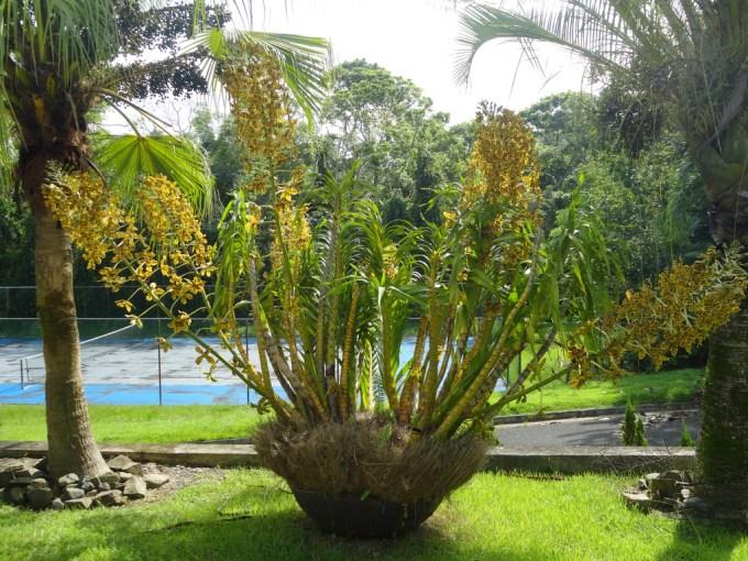Tumbuhan Langka | Anggrek Tebu