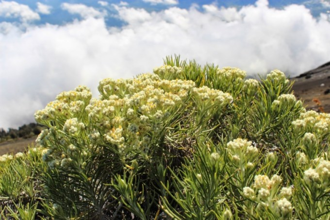 Bunga Edelweis Gunung Rinjani