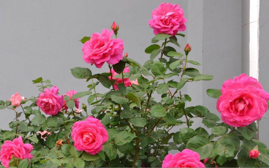 Jenis-jenis Bunga Mawar Tercantik yang Tersebar ke Berbagai Belahan Dunia