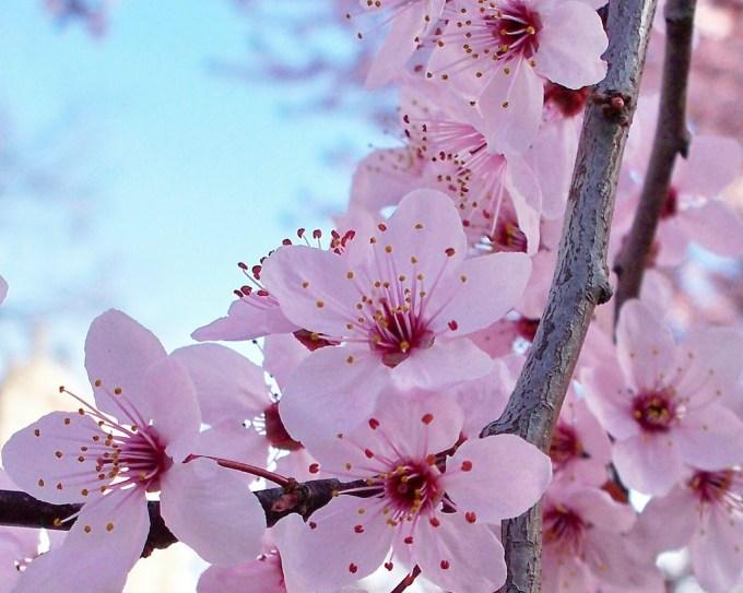 Bunga Sakura Yamazakura