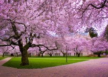 Bunga Sakura
