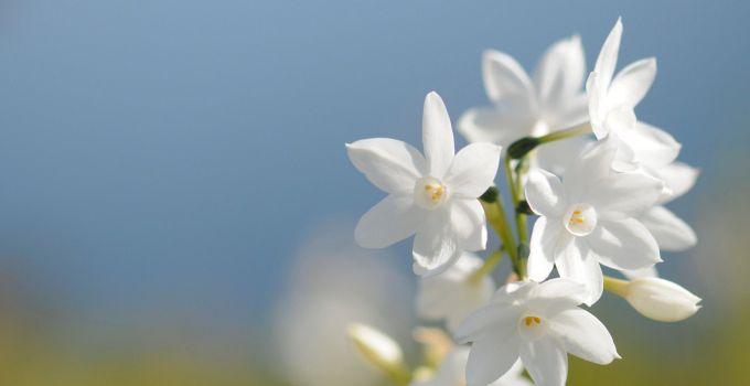 Bunga Melati yang Begitu Cantik