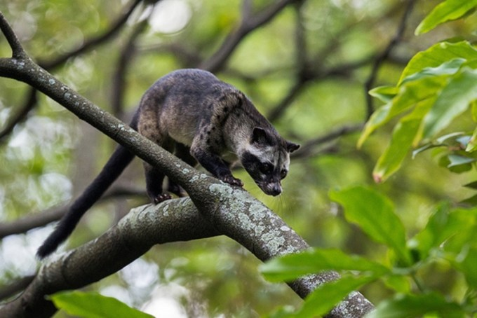 Ciri-ciri Musang Pandan