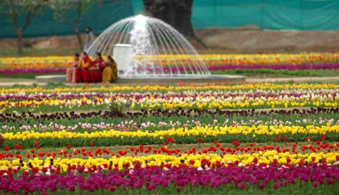 Gambar Bunga Tulip 4