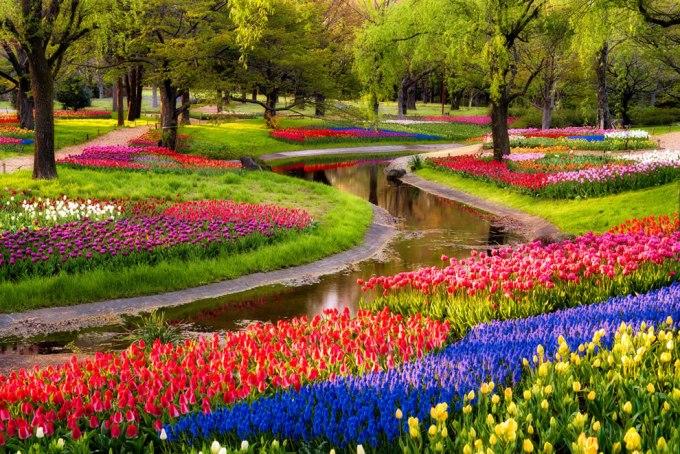 Gambar Bunga Tulip 7