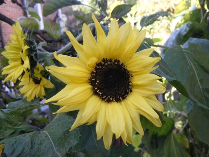Jenis Bunga Matahari Moonwalker Mempunyai Warna yang Pucat