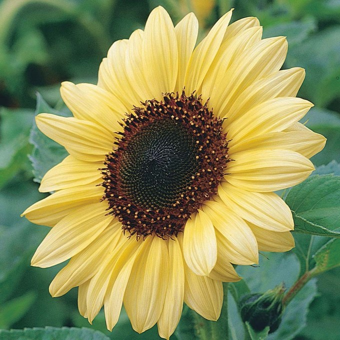 Jenis Bunga Matahari Valentine Juga Berwarna Kuning Pucat (Muda)
