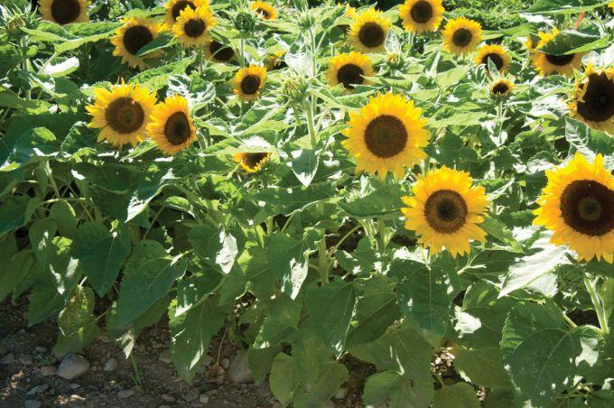 Jenis Bunga Matahari Big Smile Memiliki Ukuran yang Mungil