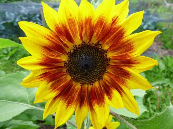 82+ Gambar Ragam Hias Bunga Matahari Paling Hist