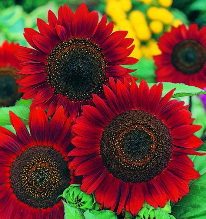 Jenis Bunga Matahari Red Sun Berwarna Merah Gelap