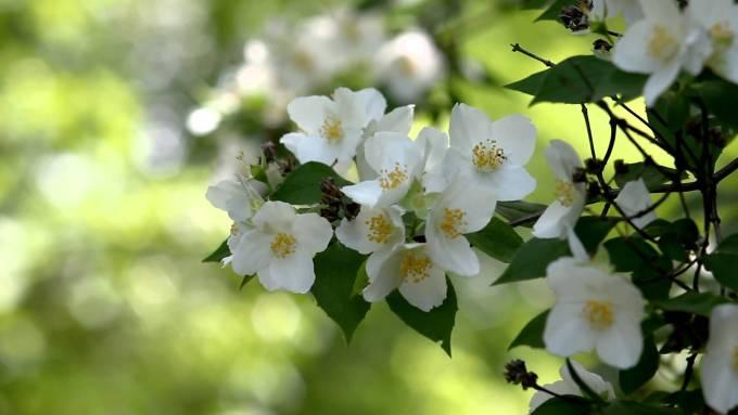 Jenis Bunga Melati dari Seluruh Dunia