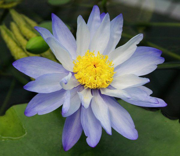 Kecantikan Jenis Bunga Teratai Gigantea Violacea