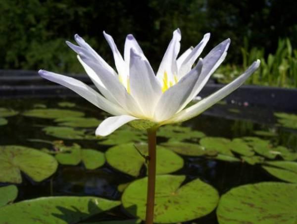 Jenis Bunga Teratai Nymphaea Elegans Tampak Samping