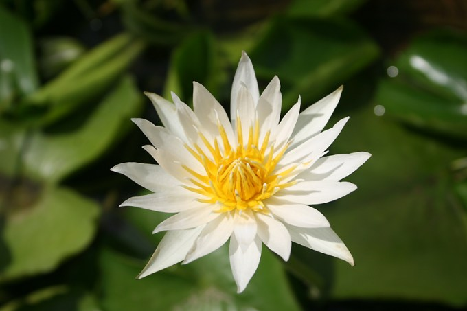Indahnya Jenis Bunga Teratai Nymphaea Flavovirens