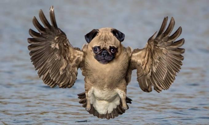 burung-anjing
