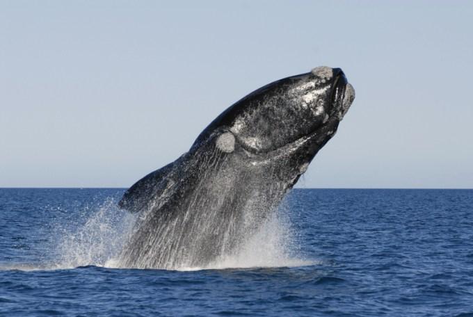 Jenis Paus Terbesar di Dunia Ketiga - Right Whale
