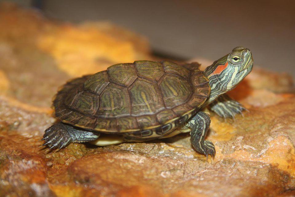 Kura Kura Brazil Si Reptil Cantik Peliharaan Sejuta Umat