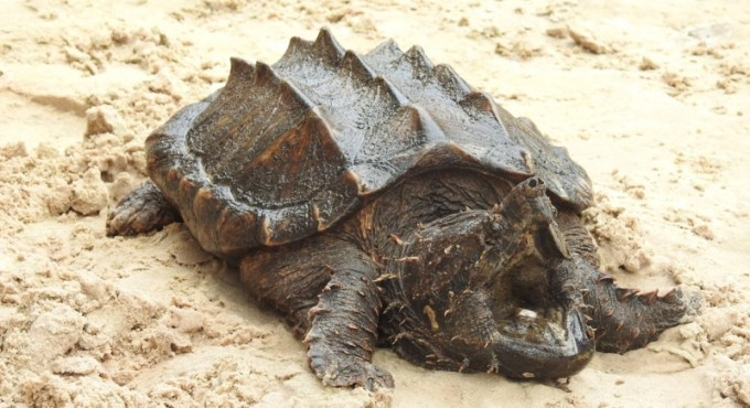 Kura Kura Air Alligator Snapping Turtle