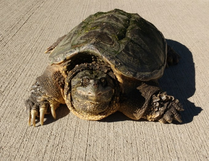 Kura Kura Air Common Snapping Turtle