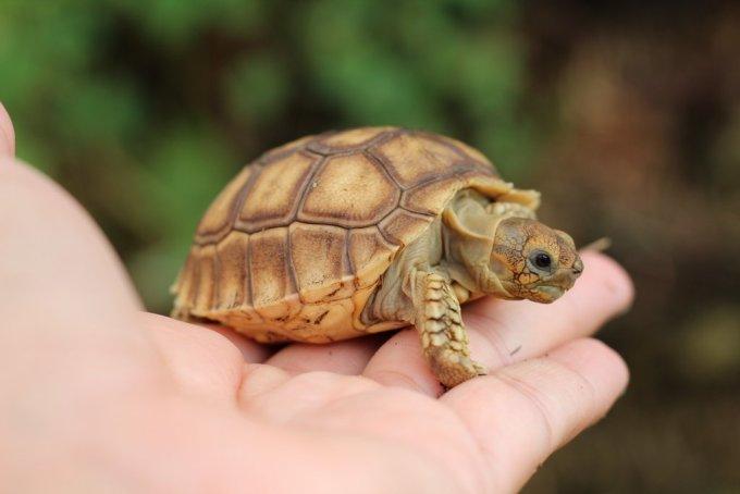Sulcata Merupakan Jenis Kura-kura Darat Terbesar Ketiga