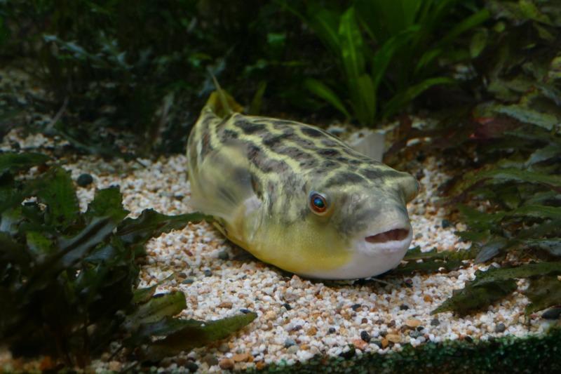 Cara Memelihara Ikan Buntal Fahaka