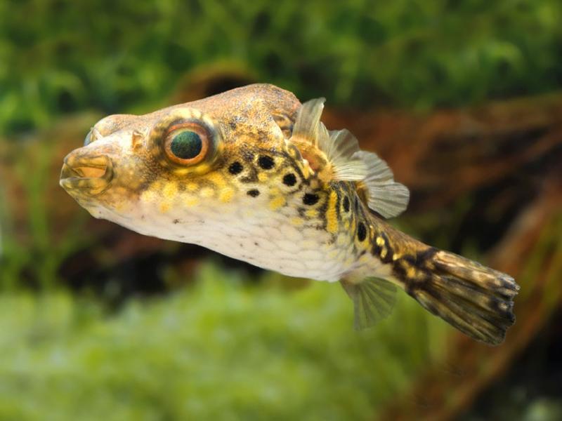 Ikan Buntal Palembang