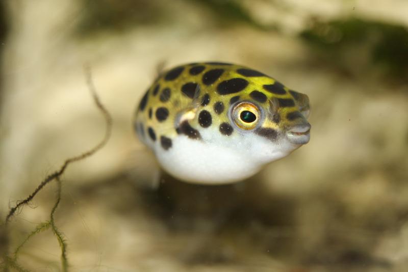 Kenalan dengan Ikan Buntal Bintik Hijau