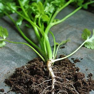 Петрушка однолетнее или двулетнее растение