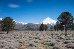 Araukarie i wulkan Lanin