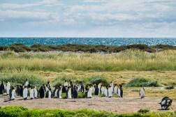 Pingwiny królewskie po raz pierwszy