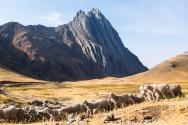 Owce grzecznie kierują się do zagrody