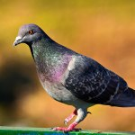 Australia's Intercontinental Pigeon