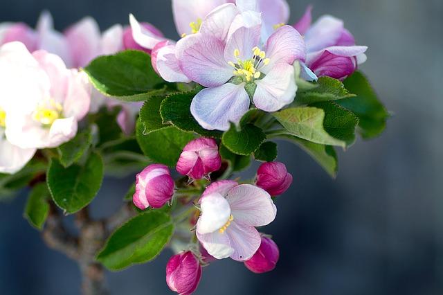 Kwiaty jabłoni do lemoniady kwiatowej