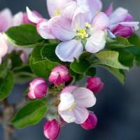 O tym jak... zrobić kwiatową lemoniadę